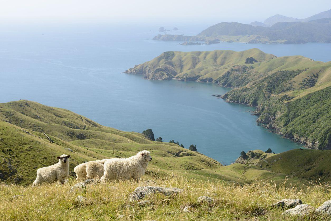 Domba di New Zealand