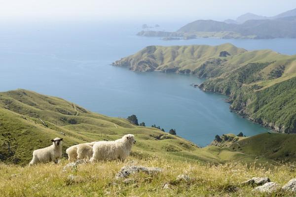 Di pinggir jalan sampai ke bukit-bukit, hampir semuanya dihuni oleh domba liar. (Getty Images/iStockphoto)