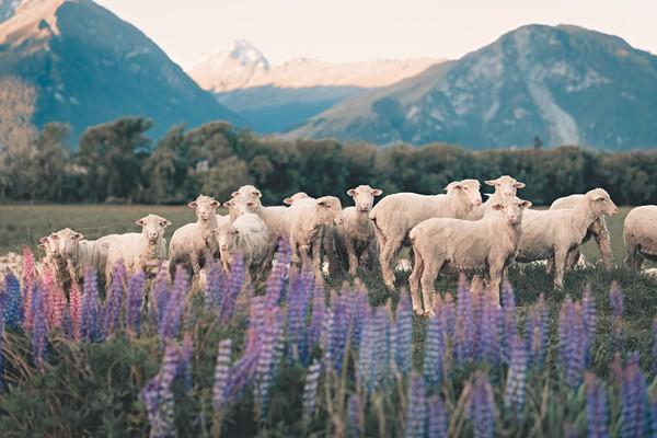 Domba sendiri sudah jadi bagian dari atraksi wisata New Zealand. Tak sedikit yang datang ke New Zealand hanya untuk memotret alam dan domba-domba liar.(Getty Images/iStockphoto)