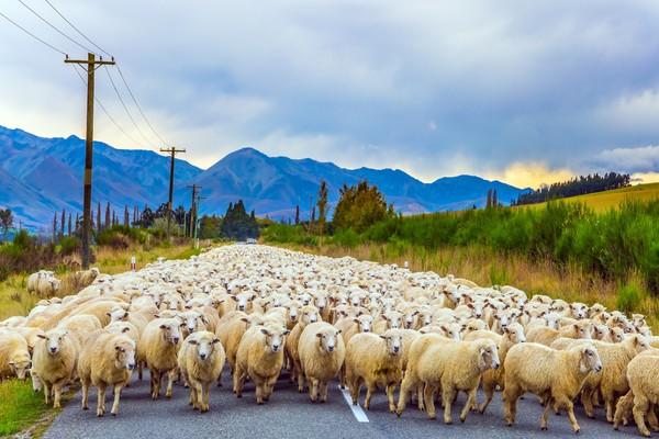 Mereka akan dengan santai melintasi jalan raya atau menyebrang dari satu padang ke padang lain lewat jalan raya. (Getty Images/iStockphoto)