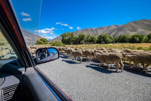 Seringkali domba-domba ini bikin macet jalanan.(Getty Images/iStockphoto)