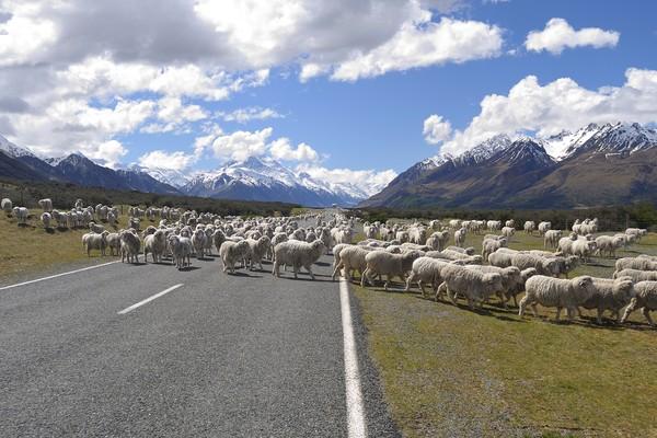 Negara ini adalah New Zealand. Ya, New Zealand punya lebih banyak domba dari manusia. (Getty Images/iStockphoto)