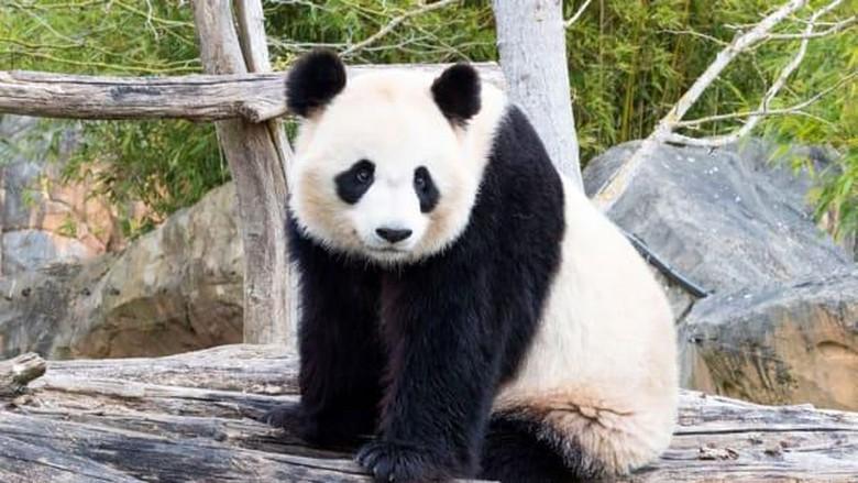 Huan Huan (panda betina) dan Yuan Zi (panda jantan)