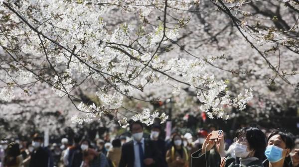 Tak sedikit warga yang keluar rumah untuk menyaksikan bunga-bunga sakura yang bermekaran di wilayah Tokyo.