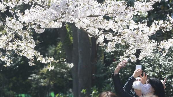 Momen mekarnya bunga-bunga sakura ini kerap dijadikan latar bagi pencinta foto lho.