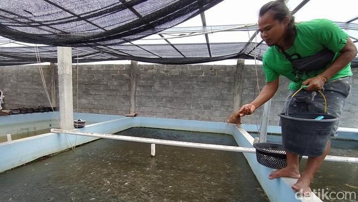 Penjualan bibit ikan di sentra pembibitan air tawar Dusun Ngrajek II, Desa Ngrajek, Kecamatan Mungkid, Kabupaten Magelang, Jawa Tengah, sempat terdampak pandemi Covid-19. Seiring memasuki musim penghujan pembelian bibit ikan tawar mulai bergeliat kembali.