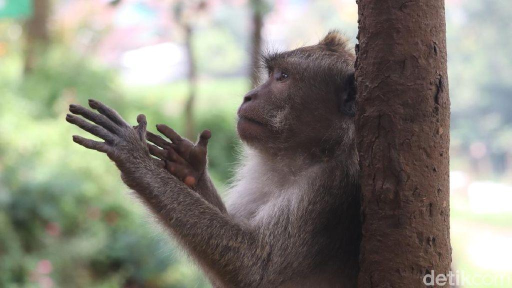 7 Warga Kena Gigitan Monyet di Medan, BKSDA Turun Tangan