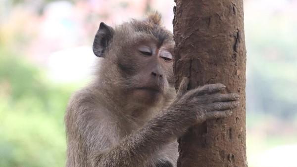 Pengunjung biasa memberi makan kacang ke monyet-monyet ini. pemandangan alam di Obyek Wisata Karang Gantungan sangat indah, udaranya juga masih segar. (Wisma Putra/detikTravel)