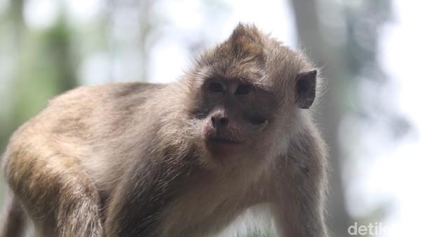 Obyek wisata ini sangat recommended sekali bagi kalian yang ingin mengenal satwa monyet ekor panjang. Akses jalan menuju obyek wisata ini, hanya dapat dilintasi kendaraan roda dua dan roda empat jenis minibus. Untuk bus, tidak direkomendasikan. (Wisma Putra/detikTravel)