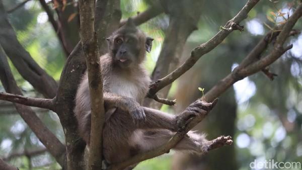 Konon katanya, populasi monyet ekor panjang di obyek wisata ini tidak bertambah atau berkurang. Tetap dihuni 40 ekor monyet ekor panjang dari tahun ke tahun. (Wisma Putra/detikTravel)