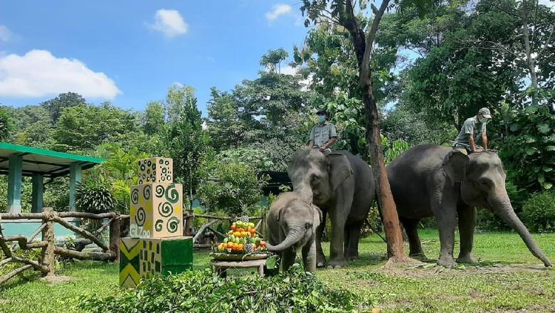 Arinta, bayi gajah di gembira Loka Zoo, berulang tahun pada Kamis (25/3/2021).