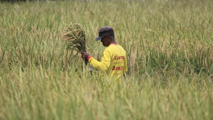 Petani memanen padi di areal sawah desa Pabean udik, Indramayu, Jawa Barat, Sabtu (20/3/2021). Kementerian Pertanian meminta Perum Bulog untuk menyerap gabah petani secara maksimal di tengah masa panen raya periode Maret hingga April 2021 untuk menjaga stabilitas harga gabah di tingkat petani. ANTARA FOTO/Dedhez Anggara/hp.