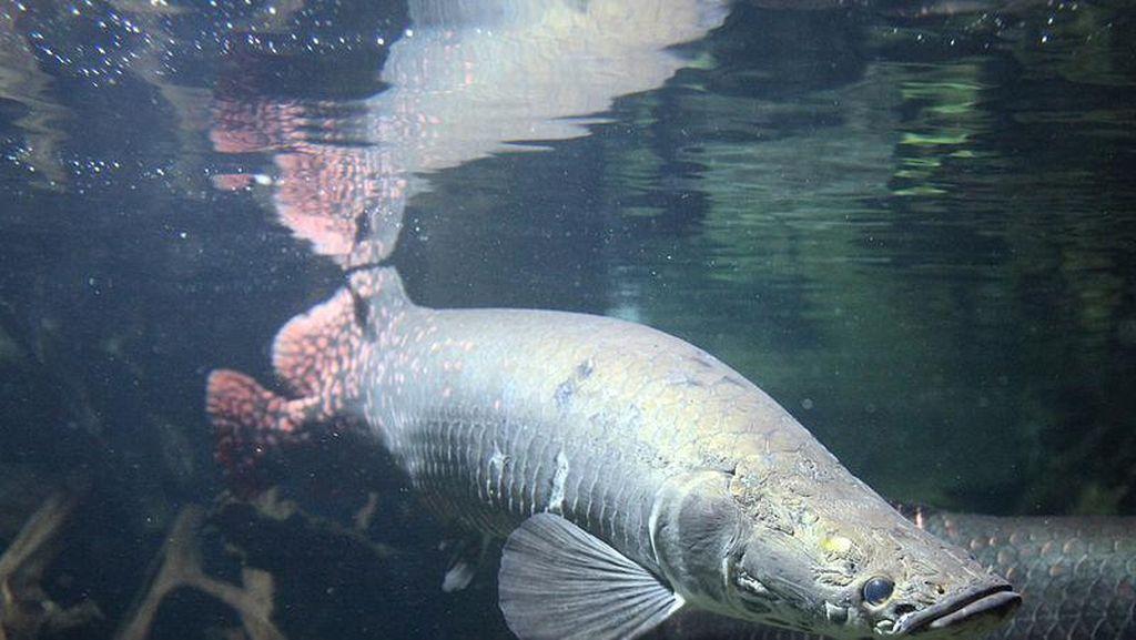 Ikan Monster dari Amazon Ditemukan di Pantai Amerika