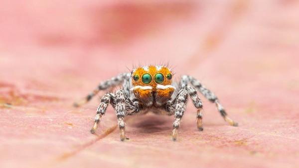 Tak seperti laba-laba kebanyakan, wajah Nemo berwarna orange terang, dengan tiga garis berwarna putih. Laba-laba itu tampak berwarna-warni dan sangat menggemaskan. Dia ditemukan di kawasan Gunung Gambier di Australia Selatan. (dok. Museum Victoria)