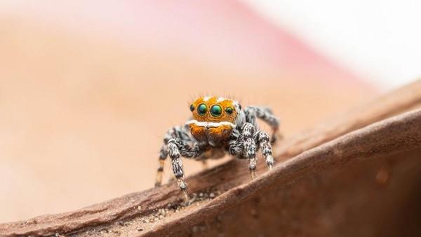 Spesies laba-laba baru ini masuk genus Maratus atau peacock spiders (laba-laba merak). Disebut peacock spiders karena penampakannya yang cantik jelita bak burung Merak. (dok. Museum Victoria)