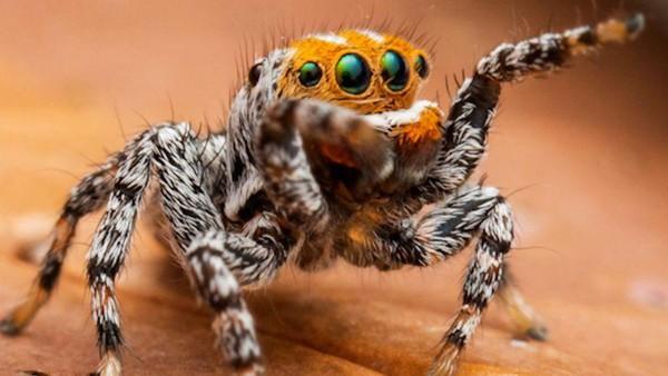 Inilah Maratus nemo, spesies laba-laba yang baru ditemukan di Australia. Nama nemo merujuk pada tokoh kartun berwujud ikan badut di film Finding Nemo. (dok. Museum Victoria)