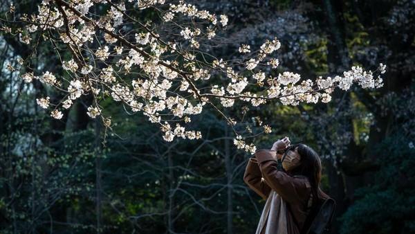 Japan Meteorological Corporation mengumumkan musim bunga sakura tahun ini terlihat lima kali lebih mekar. Getty Images/Yuichi Yamazaki