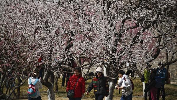 Bunga-bunga sakura yang bermekaran di Beijing membuat tak sedikit warga keluar rumah untuk menyaksikannya. AP Photo/Andy Wong