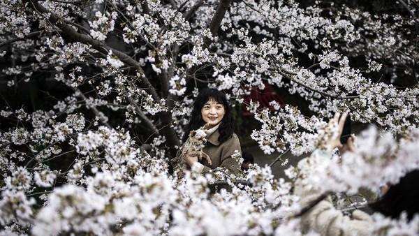 Turis biasanya datang untuk melihat bunga sakura bermekaran di Universitas Wuhan selama musim semi. Getty Images