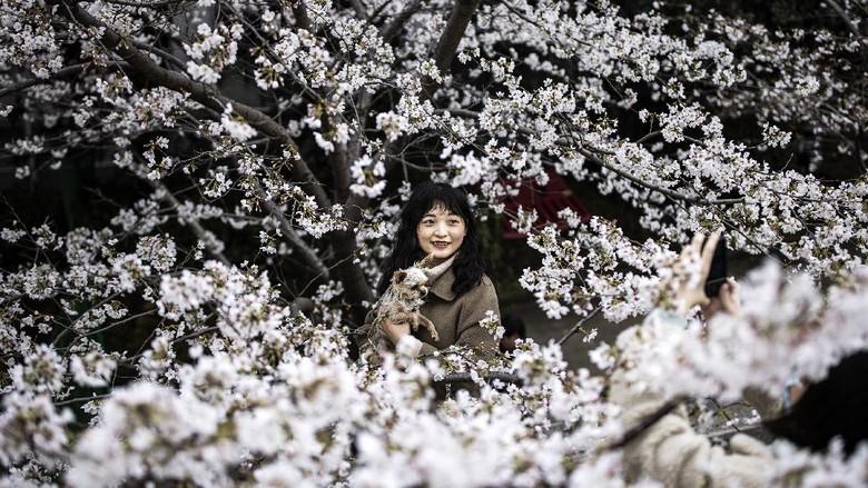 Bunga sakura mulai bermekaran di berbagai negara. Warga pun antusias untuk melihat pemandangan yang mempesona saat bunga sakura mulai bermekaran.