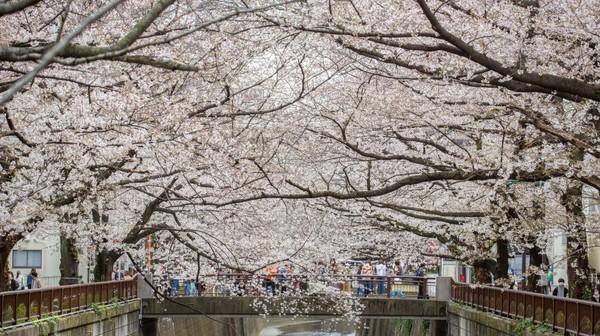 Pohon sakura yang mekar sepenuhnya terlihat di Tokyo, Jepang. Getty Images/Yuichi Yamazaki