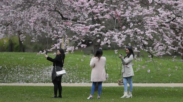 Selain di Amerika, warga juga menikmati indahnya bunga sakura di St Jamess Park, London, Inggris. AP Photo/Kirsty Wigglesworth