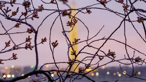 Pohon sakura (Cherry Blossom) juga bermekaran di sepanjang Tidal Basin, Washington, Amerika Serikat. AP Photo/J. David Ake