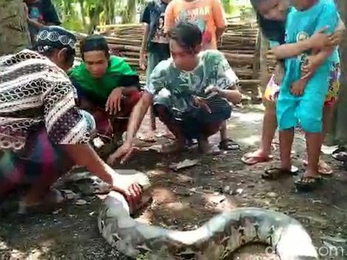 Ular Sanca ditangkap di sungai Kelurahan Tembokrejo, Kecamatan Purworejo, Kota Pasuruan. Penangkapan ular sepanjang 4 meter itu bikin heboh dan disaksikan puluhan warga.