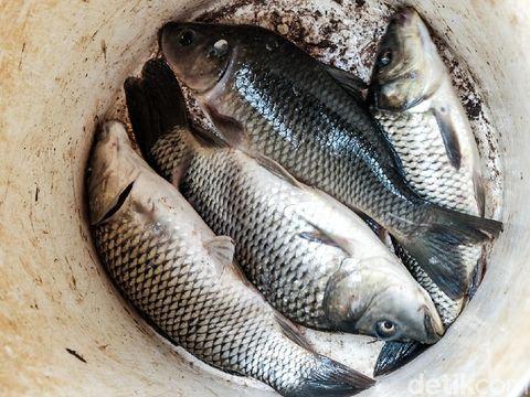 Ikan mas di Pondok Aren, Tangerang Selatan, Banten. (Andhika Prasetia/detikcom)