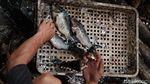 Beda Nasib Ikan Mas: Jadi Hama di Australia, Dibudidaya di Pondok Aren