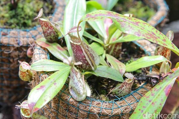 Di sana tumbuh berbagai jenis kantong semar, mulai dari Nepenthes mirabilis, Nepenthes reinwardhitiana, Nepenthes rafflesiana, dan masih banyak lagi. Traveler juga dapat melihat mulai dari bakal kantong semar hingga kantong semar dewasa di sana.