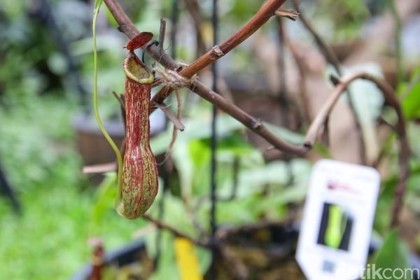 Taman pertama yang detikcom kunjungi adalah taman yang berisikan tumbuhan kantong semar (nepenthes). Kantong semar merupakan tumbuhan karnivora di mana makanannya adalah serangga.