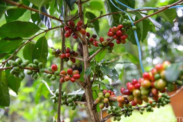 Di sana tumbuh tiga jenis kopi yaitu Kopi Robusta Ulubelu, Kopi Arabica Puntang, dan Kopi Arabica Kamojang.