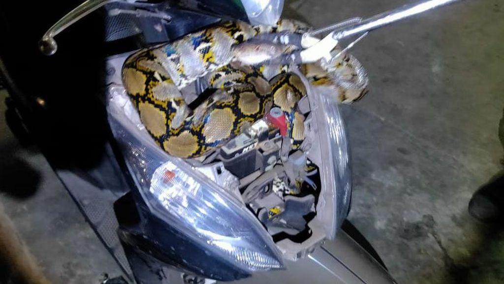 Warga Kaget Motornya Dimasuki Ular Sanca 2,5 M: Sempat Kira Maling