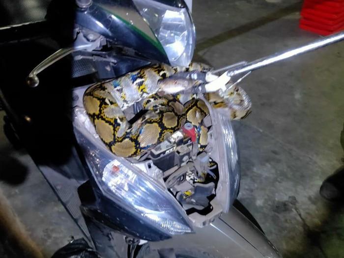 Ular sanca ditemukan dalam bodi motor di Tebet, Jakarta Selatan