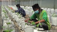 Diajarkan Berkebun, Santri di Purwakarta Hasilkan Puluhan Juta Rupiah