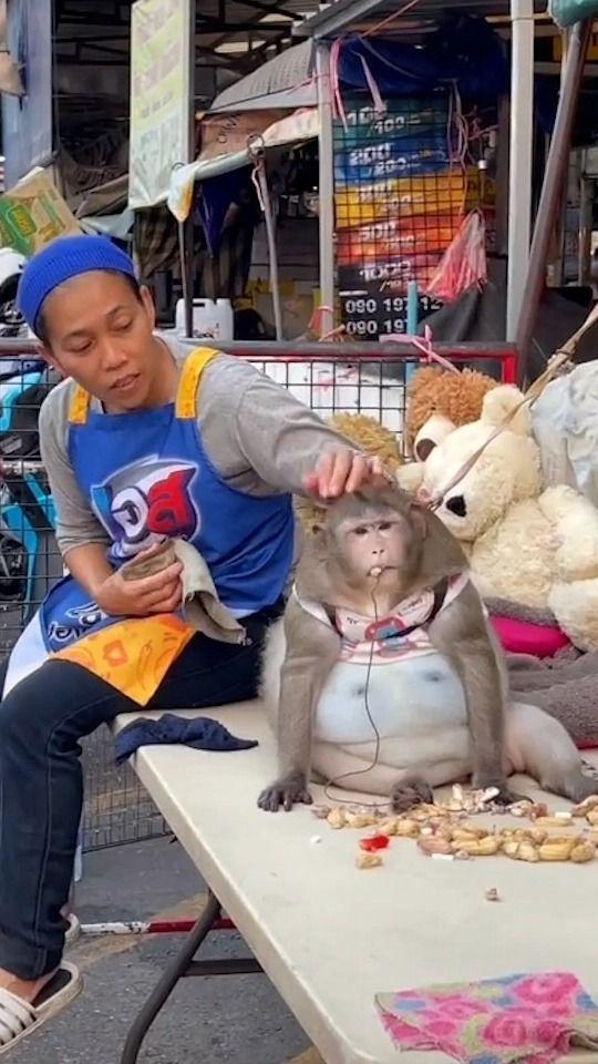 Diberi Banyak Makanan Enak di Pasar, Monyet Thailand Ini Obesitas