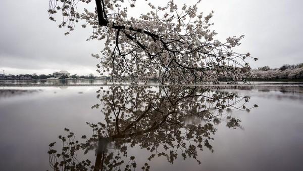 Bunga sakura yang sedang bermekaran ini pun menjadi salah satu dari rangkaian Festival Bunga Sakura nasional 2021 di Amerika.