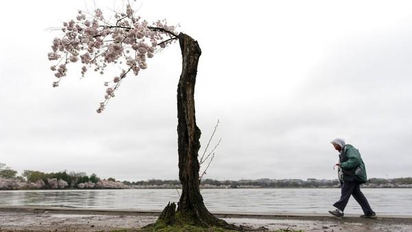 Festival tersebut digelar untuk mengenang pemberian 3.000 pohon sakura dari Kyoto kepada masyarakat Washington pada tahun 1912.
