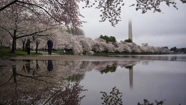 Begini penampakan indahnya bunga sakura yang bermekaran di kawasan Tidal Basin, Washington, Amerika Serikat.