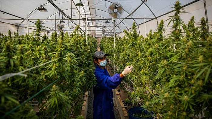 NAKHON RATCHASIMA, THAILAND - MARCH 25: Thai greenhouse workers trim damaged marijuana leaves and care for plants at the greenhouse facilities at the Rak Jang farm on March 25, 2021 in Nakhon Ratchasima, Thailand. The Rak Jang farm, in Nakhon Ratchasima, Thailand, is one of the first farms that has been given permission by the Thai government to grow cannabis and sell their products to medical facilities since medical marijuana was legalized in 2019. The cannabis grown by the farm is high in CBD and sold to local hospitals for therapeutic treatments for patients with prescriptions. Thailand plans to continue to develop more cannabis products in an effort to boost the local economy and draw more customers to Thailand for medical tourism.  (Photo by Lauren DeCicca/Getty Images)