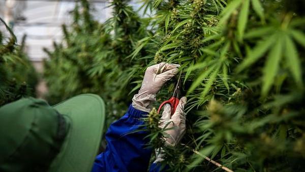 Pekerja memotong daun mariyuana yang rusak di fasilitas rumah kaca di pertanian Rak Jang di Nakhon Ratchasima, Thailand. (Getty Images/Lauren DeCicca)
