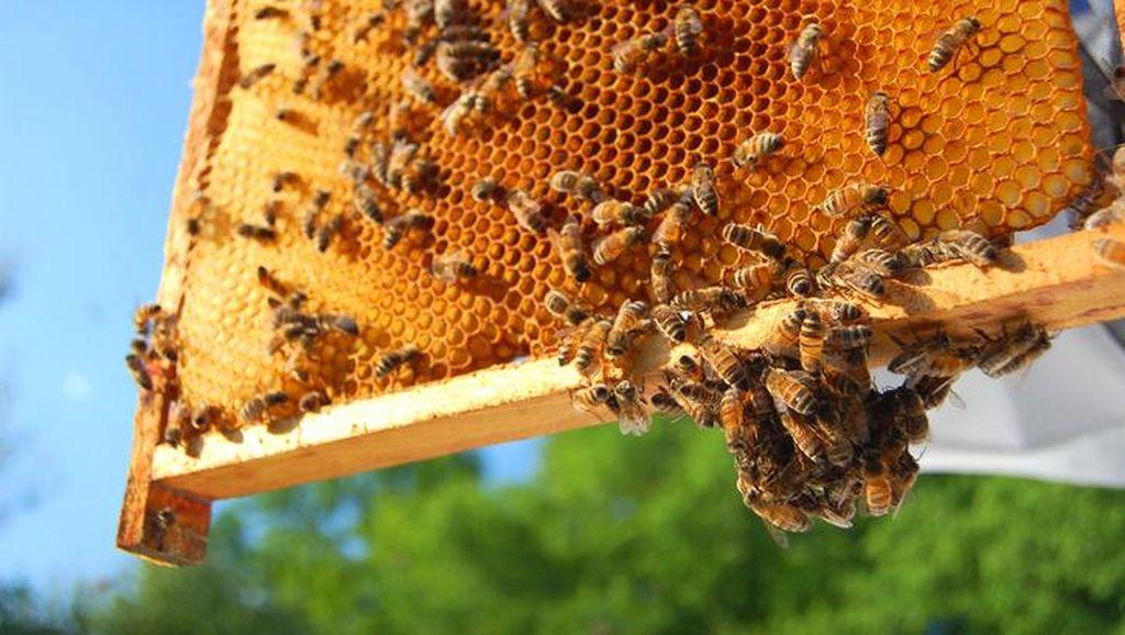 Ilmuwan Temukan Gula Sehat dari Madu Lebah Tanpa Sengat