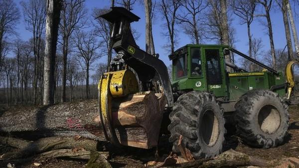 Pohon yang terpilih ditebang sebelum akhir Maret dan dikeringkan selama 12 hingga 18 bulan untuk memastikan balok tidak menyusut atau bergerak begitu di tempatnya.