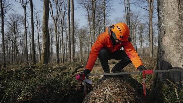 Keputusan tersebut menjadi permulaan perburuan pohon-pohon ek selama berbulan-bulan karena harus sempurna untuk memenuhi tuntutan arsitek Philippe Villeneuve dan Remi Fromont, yang mengawasi proses rekonstruksi.