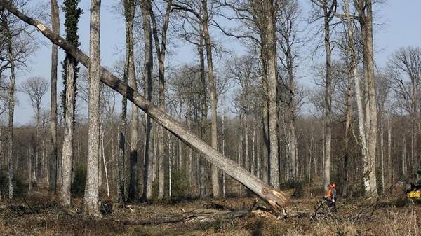Selain delapan pohon ek di Bercé, lebih banyak pohon telah disumbangkan dari lebih dari 200 hutan di seluruh negeri - empat penjuru Prancis akan terwakili di dalam katedral setelah pekerjaan pembangunan selesai.