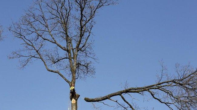 Penebangan pohon ek untuk Notre Dame