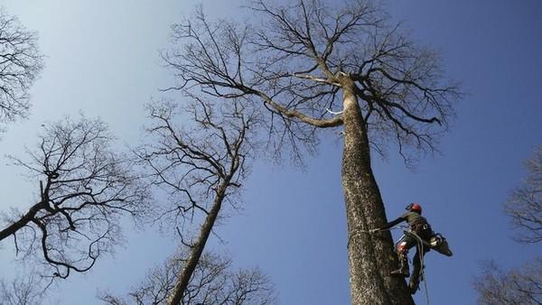 Pohon itu pada akhirnya akan bergabung dengan 1.000 pohon ek lainnya yang digunakan untuk merekonstruksi kisi-kisi kayu atap dan menggantikan pangkal puncak menara yang tumbang akibat kobaran api yang menghancurkan bangunan Gotik hampir dua tahun lalu, pada April 2019.