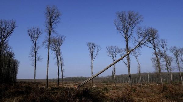 Jauh di bekas hutan kerajaan Bercé, di wilayah Loire Prancis, sebatang pohon berusia 230 tahun jatuh ke tanah dan membuat suara menggelegar. Ditanam sejak Revolusi Prancis, pohon ek setinggi sekitar 19 meter itu adalah salah satu dari banyak pohon serupa yang ditebang sebagai bagian dari upaya berkelanjutan untuk membangun kembali Notre Dame.