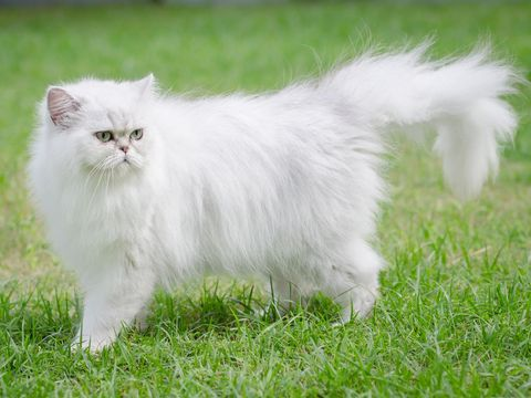 White persian cat walking on green grass